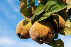 Ripe Quinces on branch, against blue sky Royalty Free Stock Images