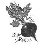 Ripe radish on a white background. sketch Royalty Free Stock Photo