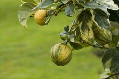 Ripe rainbow lemons. Closeup of ripe rainbow lemons on leafy tree on island of Hawaii stock photos