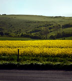 Ripe rapeseed field Royalty Free Stock Photos