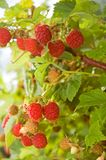 Ripe Raspberries. Ripe red raspberries growing in a patch royalty free stock photo