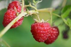 Ripe raspberries. Closeup of raspberries. Small focus depth on front raspberries royalty free stock photo