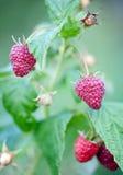 Ripe raspberries. Ready to eat Stock Photos