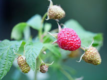 Ripe raspberries. Ready to eat stock photo