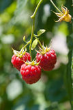 Ripe  raspberries Stock Photos