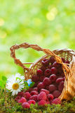 Ripe raspberries. In the basket Stock Photo