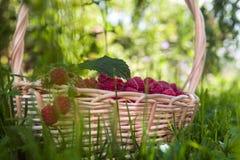 Ripe raspberries on basket. On green grass Stock Photo