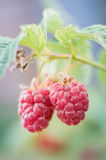 Ripe raspberries Stock Photography