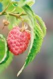 Ripe raspberries Royalty Free Stock Image