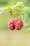 Ripe raspberries Royalty Free Stock Image