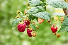 Ripe raspberries on branch of raspberry bush in the garden. On blurred green summer background, copy space, closeup stock images