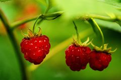 Ripe raspberries on a branch. Ripe raspberries in the forest Royalty Free Stock Photos
