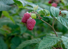 Ripe raspberries on a branch. Some ripening raspberries on the bush in a kitchen garden Royalty Free Stock Photography
