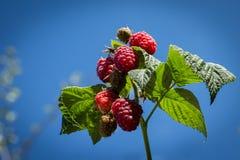 Ripe raspberries on branch under blue sky Royalty Free Stock Image
