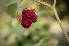 Ripe raspberries on a bush in the garden Stock Photo