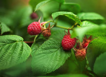 Ripe raspberries on the bush. Royalty Free Stock Image