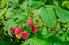 Ripe raspberries on the bush Stock Images