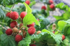 Ripe raspberries on the bush Royalty Free Stock Photo