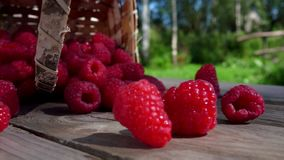 Ripe raspberries crumble on the wooden table