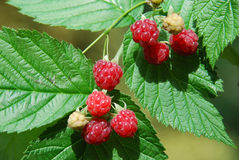 Ripe raspberries grow on a branch. The time of harvest Royalty Free Stock Image