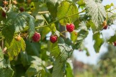 Ripe raspberries growing on a branch. Raspberries growing on a branch Stock Photo