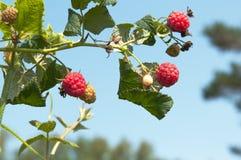 Ripe raspberries growing on a branch. Raspberries growing on a branch Royalty Free Stock Photo
