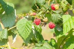 Ripe raspberries growing on a branch. Raspberries growing on a branch Royalty Free Stock Images