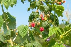 Ripe raspberries growing on a branch. Raspberries growing on a branch Stock Image