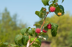 Ripe raspberries growing on a branch. Raspberries growing on a branch Stock Photos