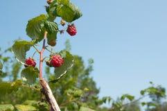 Ripe raspberries growing on a branch. Raspberries growing on a branch Royalty Free Stock Photography