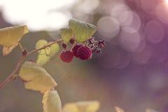 Ripe raspberries growing on the branch. Ripe pink raspberries growing on the branch in summer time Stock Photo