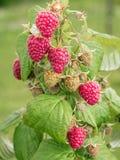 Ripe raspberries growing on shrub Royalty Free Stock Photos