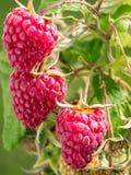 Ripe raspberries growing on shrub Royalty Free Stock Photo