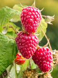 Ripe raspberries growing on shrub Stock Images