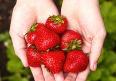 Ripe raspberries in hands Stock Images