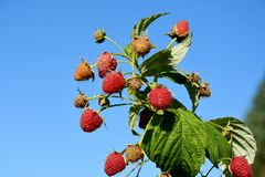 Strawberries at a bush against blue sky. Ripe raspberries , hanging on a bush. Due to the enormous heat and dryness, some fruits have dried up stock image