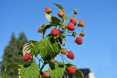 Strawberries at a bush against blue sky. Ripe raspberries , hanging on a bush. Due to the enormous heat and dryness, some fruits have dried up stock photography