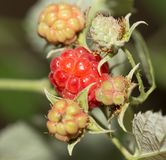 Ripe raspberries on the nature. In the park in nature Royalty Free Stock Images