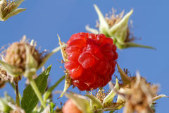 Ripe raspberries in orchard against the sky Royalty Free Stock Photo