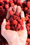 Ripe raspberries in the palm of your hand Royalty Free Stock Photography