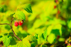 Ripe raspberries on a plant green background. Stock Image