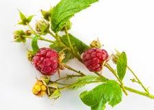 Ripe raspberries on stem Stock Photography