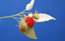 Ripe raspberries Royalty Free Stock Photo
