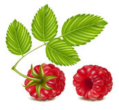 Ripe raspberry. Stock Photo