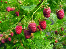 Ripe raspberry. Plantation of the ripe raspberry Stock Image