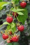 Ripe raspberry. Ripe raspberries on a twig Royalty Free Stock Photos