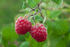 Ripe raspberry 2. Ripe raspberry hanging on a bush Royalty Free Stock Photos