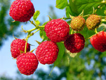 Ripe raspberry. Bunch of the ripe raspberry in the fruit garden Royalty Free Stock Image