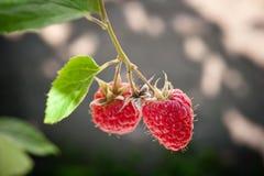 Ripe raspberry Royalty Free Stock Photography
