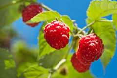 Ripe raspberry Royalty Free Stock Photography